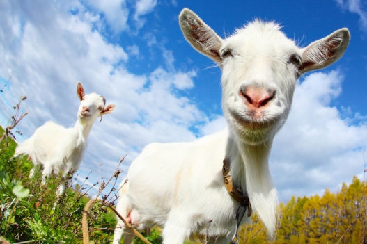 World's Longest Blog about Goat's Milk Soap